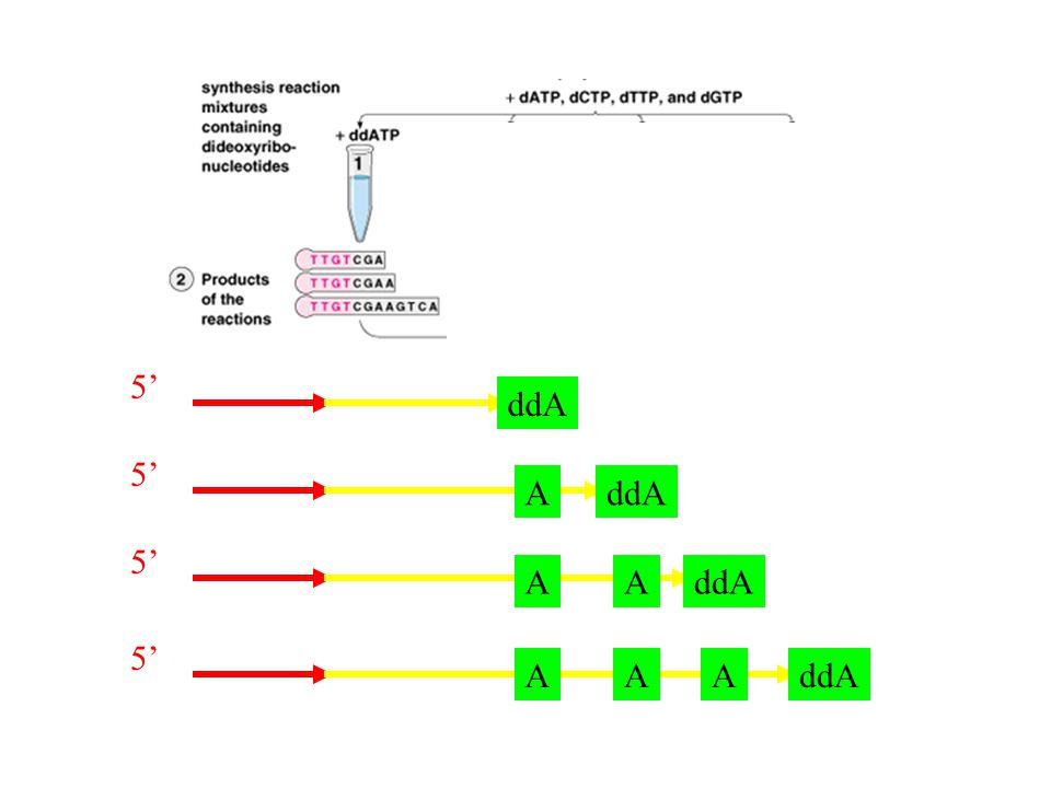 ATGCTTGCCAATT ddATP ddTTP ddGTP ddCTP V souboru nasyntetizovaných molekul je v každé pozici vždy část z nich ukončena