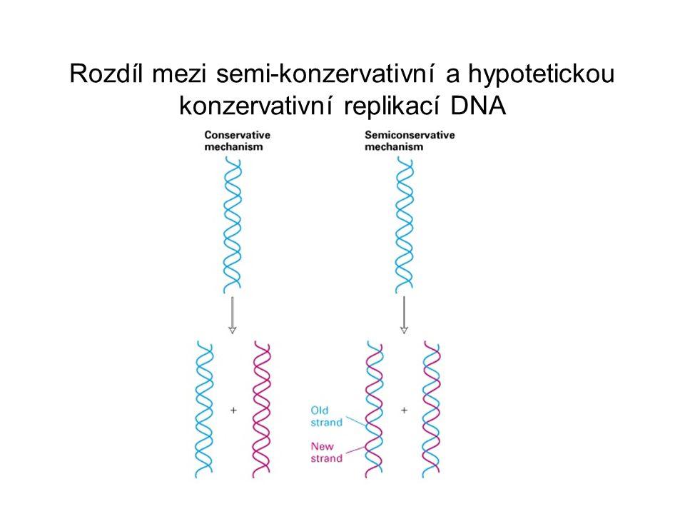 Hypotézy o replikaci DNA 1.při buněčném dělení dědí dceřinné buňky kopii genomu 2.konservativní replikace = 1 buňka dostane veškerou mateřskou DNA 3.dispersní replikace = nová a stará DNA jsou namíchány 4.semikonservativní replikace = každá buňka získá jedno nové a jedno staré vlákno Experiment Meselsona a Stahla (1953) 1.