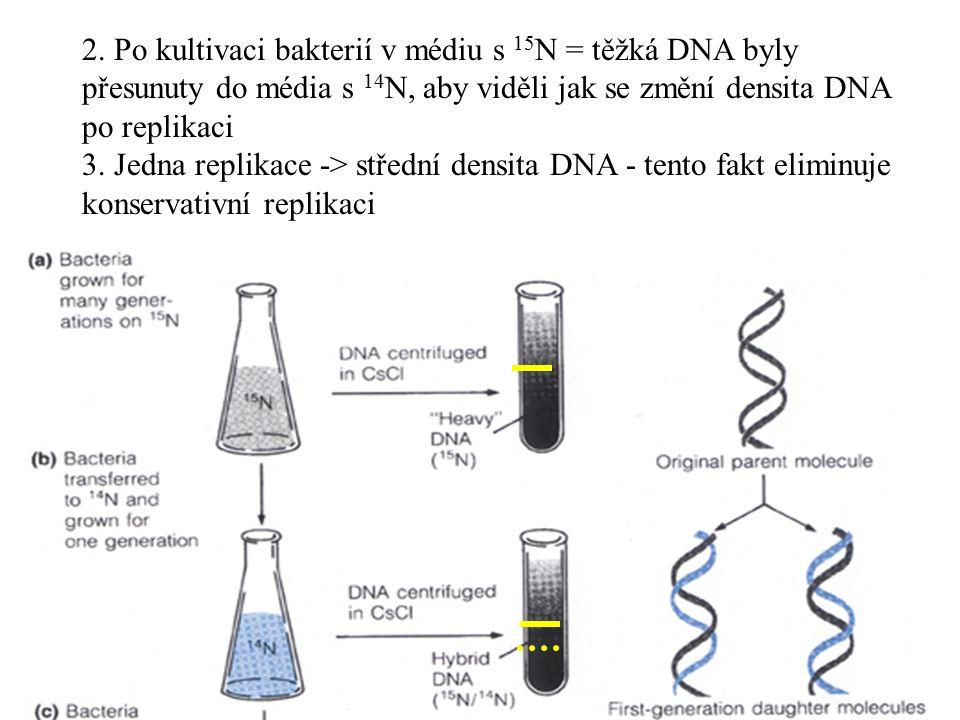 2. Po kultivaci bakterií v médiu s 15 N = těžká DNA byly přesunuty do média s 14 N, aby viděli jak se změní densita DNA po replikaci 3. Jedna replikac
