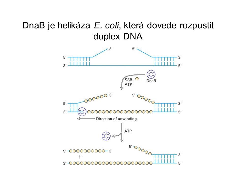 V replikační vidlici je jedno vlákno syntetizováno diskontinuálně z četných primerů