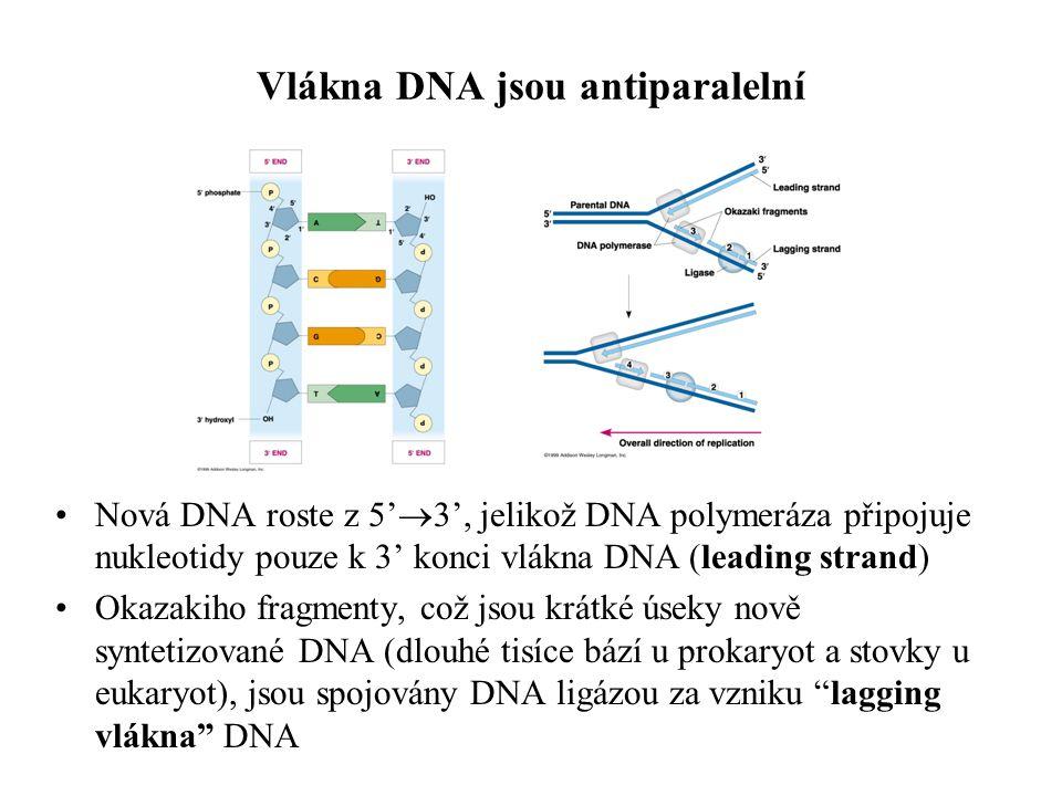 5' 3' lagging strand 5' leading strand 3' RNA primers 3.