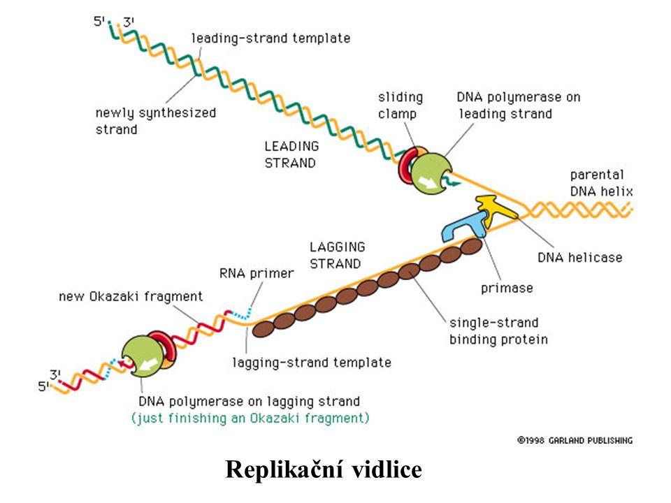 Leading a lagging vlákna jsou synthetizována najednou