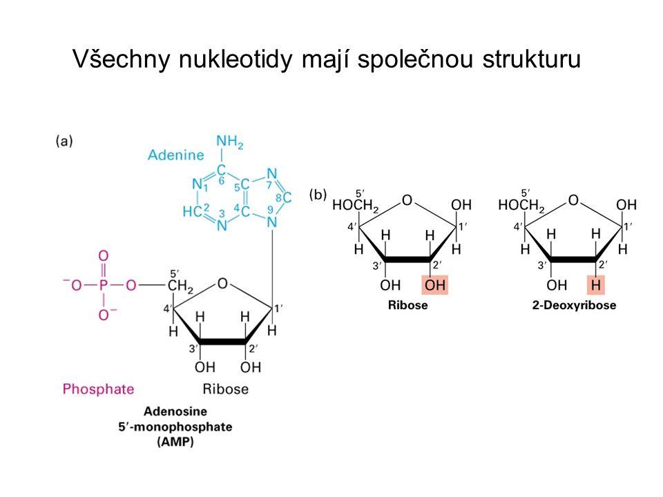 Nukleotidové podjednotky jsou vzájemně spojené fosfodiesterovou vazbou Fig.
