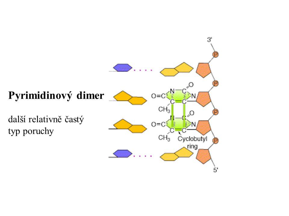 Mutace (změny v genetickém materiálu) mohou být: Bodové mutace:chemické změny v pouze jediné nebo několika bázích v genu – Base-pair substitutions : nahrazení jednoho nukleotidu jiným tiché měnící smysl (missence) nesmyslné (nonsense) – Insertion/Deletion : změny v počtu nukleotidů Posun čtecího rámce (=Frame shift)