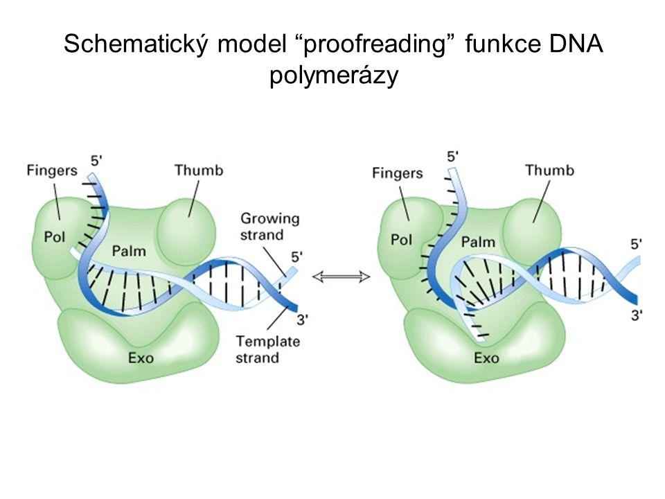 Funkce topoisomeráz při replikaci DNA Molekuly DNA se v prostoru stáčí a ohýbají, což způsobuje změny topologie, např.