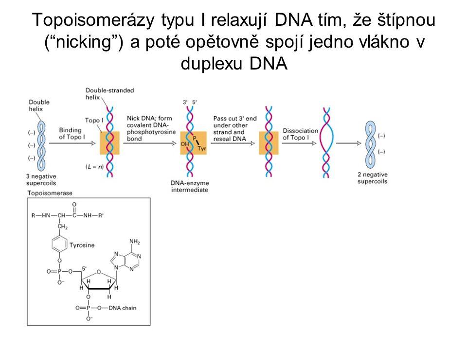 Model katalytické aktivity topoisomerase II E. coli (DNA gyráza)