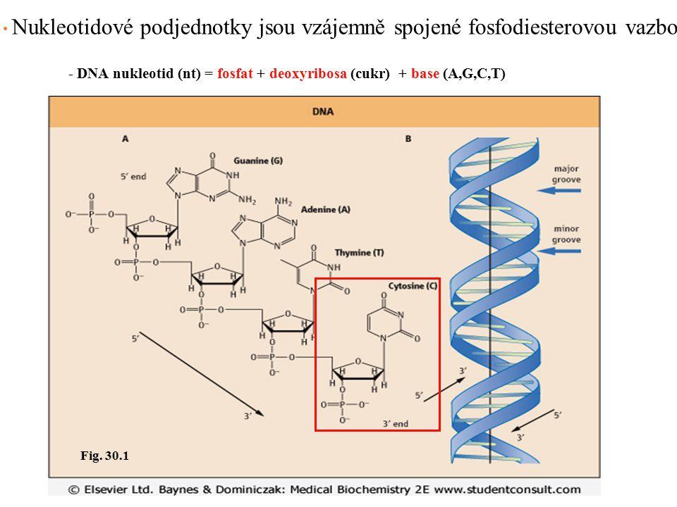 Nukleotidové podjednotky jsou vzájemně spojené fosfodiesterovou vazbou Fig. 30.1 - DNA nukleotid (nt) = fosfat + deoxyribosa (cukr) + base (A,G,C,T)