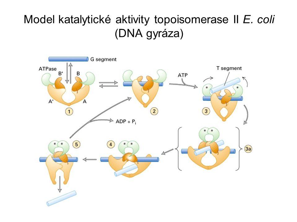 Replikované kruhové molekuly DNA jsou odděleny topoisomerázou typu II Lineární dceřinné chromatidy jsou rovněž odděleny topoisomerázou II