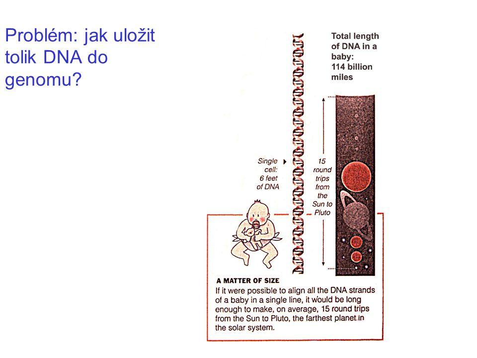 DNA molekuly jsou enormně dlouhé, u člověka se jejich velikost pohybuje od 48.000.000 do 240.000.000 nt DNA-replikace je rozsáhlá záležitost human chromosomes
