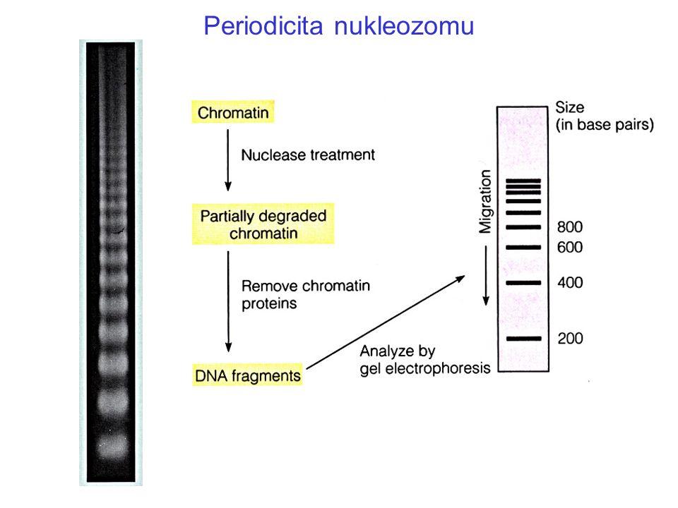 Organizace nukleozomu 1.8 závitů (ca.