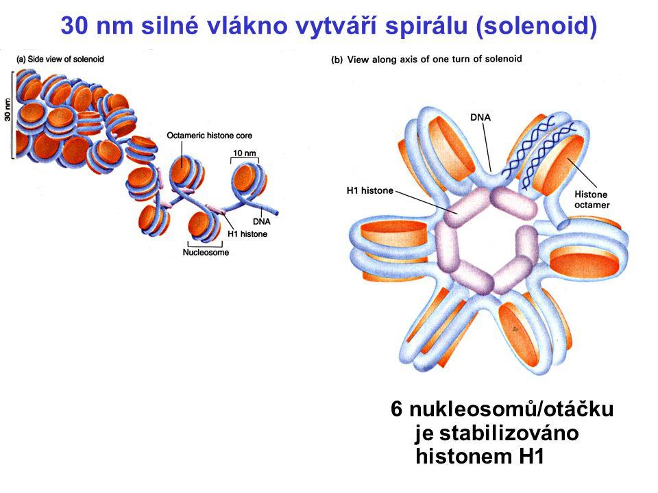 Nukleosomy jsou komplexy histonů