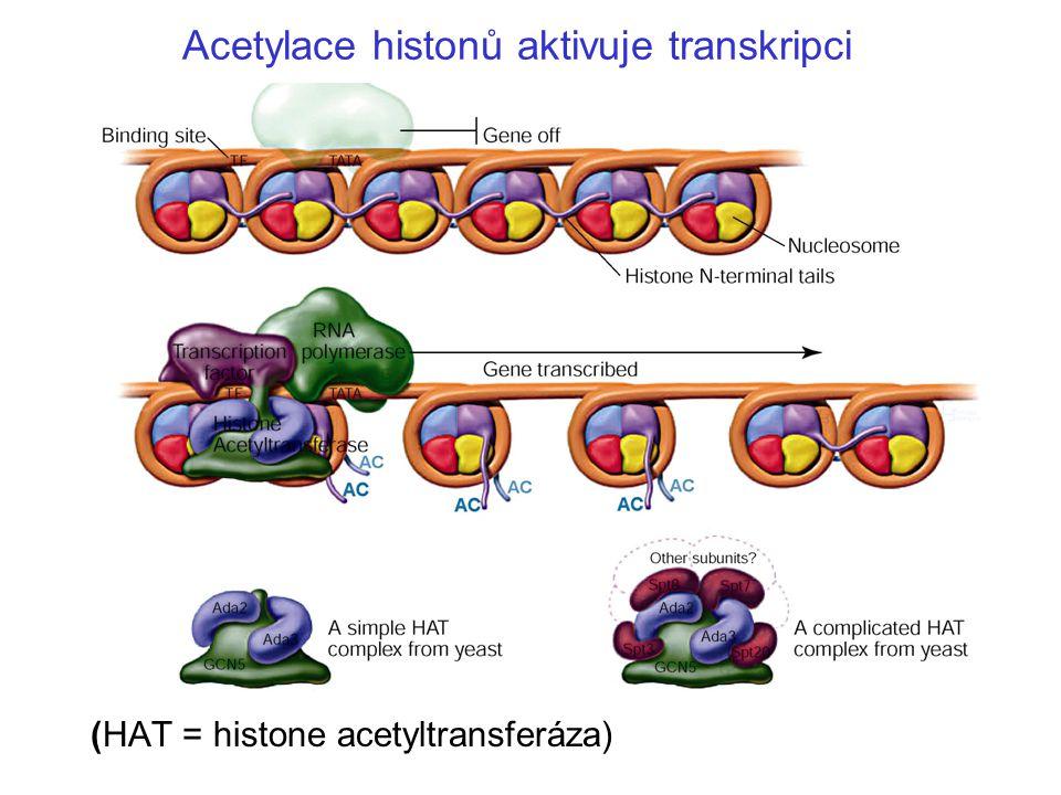 Modifikace proteinů mění jejich funkci Metylace - připojení CH 3 k lysinu Fosforylace - připojení PO 4 - Acetylace - připojení CH 3 CO Např.