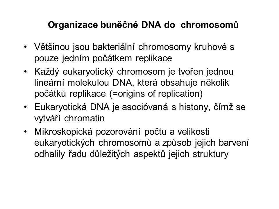 Barvené chromosomy mají charakteristické proužkování