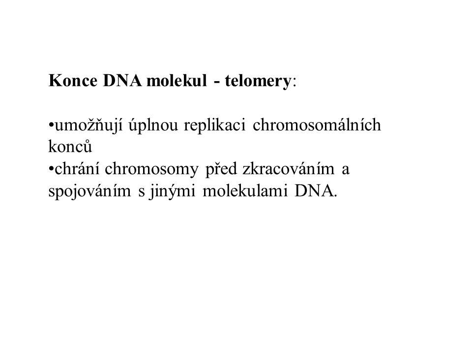 Všechny lidské metafázové chromosomy hybridizují s telomerickou repetitivní sekvencí (TTAGG)n Telomery (pokračování)