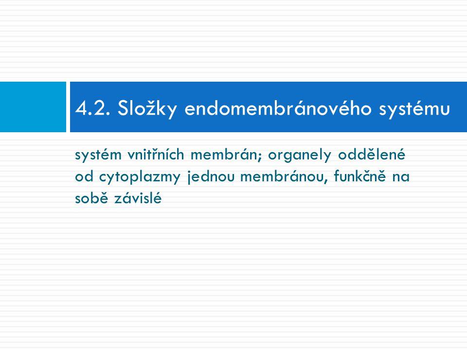 systém vnitřních membrán; organely oddělené od cytoplazmy jednou membránou, funkčně na sobě závislé 4.2. Složky endomembránového systému