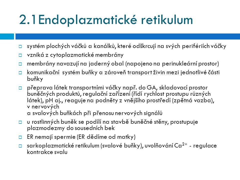 2.1Endoplazmatické retikulum  systém plochých váčků a kanálků, které odškrcují na svých perifériích váčky  vzniká z cytoplazmatické membrány  membr