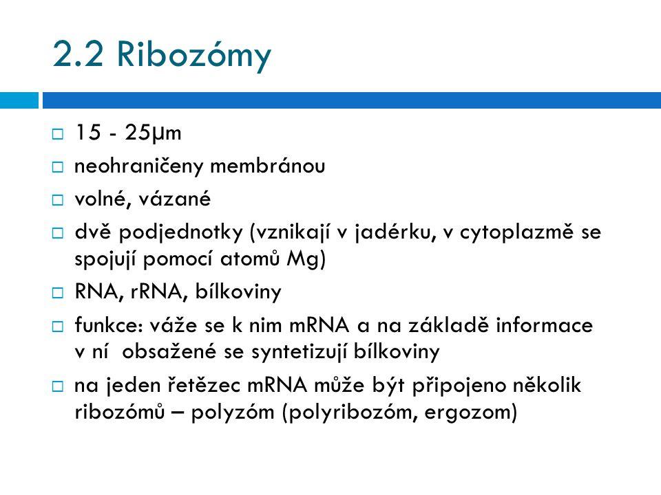 2.2 Ribozómy  15 - 25µm  neohraničeny membránou  volné, vázané  dvě podjednotky (vznikají v jadérku, v cytoplazmě se spojují pomocí atomů Mg)  RNA, rRNA, bílkoviny  funkce: váže se k nim mRNA a na základě informace v ní obsažené se syntetizují bílkoviny  na jeden řetězec mRNA může být připojeno několik ribozómů – polyzóm (polyribozóm, ergozom)