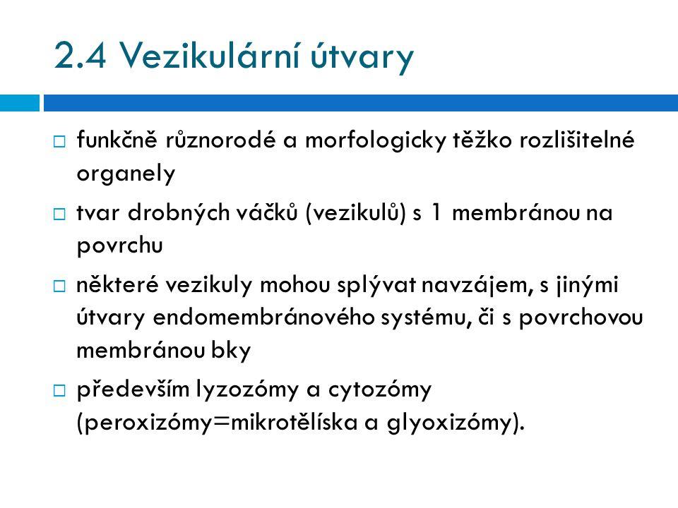 2.4 Vezikulární útvary  funkčně různorodé a morfologicky těžko rozlišitelné organely  tvar drobných váčků (vezikulů) s 1 membránou na povrchu  některé vezikuly mohou splývat navzájem, s jinými útvary endomembránového systému, či s povrchovou membránou bky  především lyzozómy a cytozómy (peroxizómy=mikrotělíska a glyoxizómy).