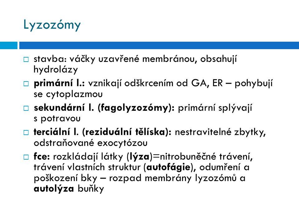 Lyzozómy  stavba: váčky uzavřené membránou, obsahují hydrolázy  primární l.: vznikají odškrcením od GA, ER – pohybují se cytoplazmou  sekundární l.
