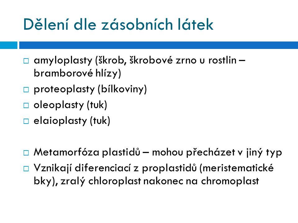 Dělení dle zásobních látek  amyloplasty (škrob, škrobové zrno u rostlin – bramborové hlízy)  proteoplasty (bílkoviny)  oleoplasty (tuk)  elaioplasty (tuk)  Metamorfóza plastidů – mohou přecházet v jiný typ  Vznikají diferenciací z proplastidů (meristematické bky), zralý chloroplast nakonec na chromoplast