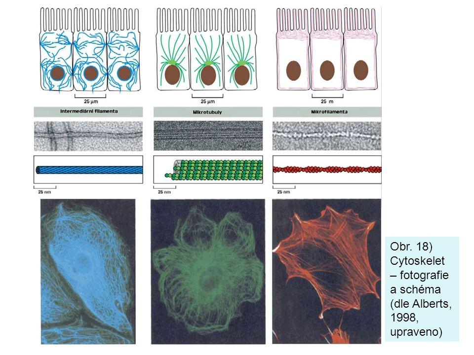Obr. 18) Cytoskelet – fotografie a schéma (dle Alberts, 1998, upraveno)