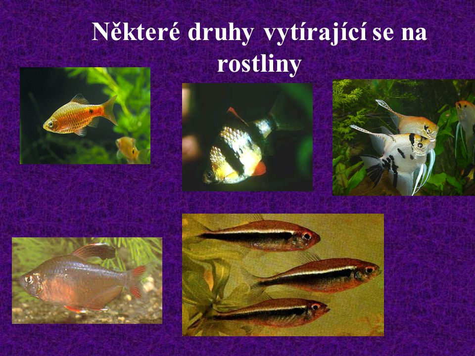 Možnosti pěstování různých druhů akvarijních rostlin v chovných akváriích s rybami jsou samozřejmě mnohem širší, avšak možných úspěšných i nevhodných