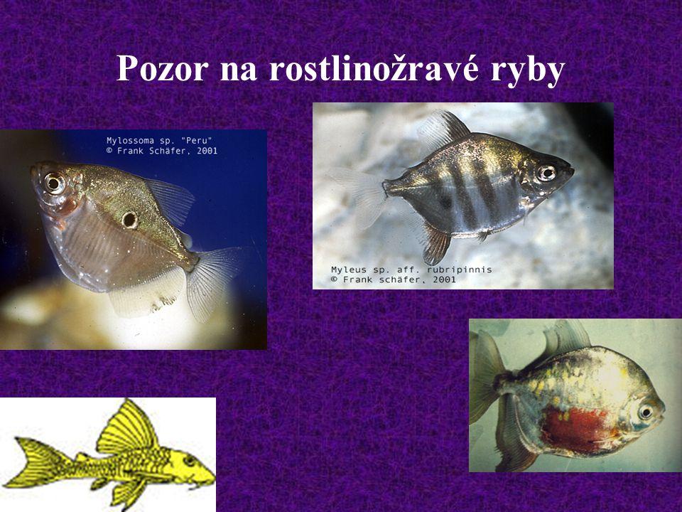 Pozor na rostlinožravé ryby