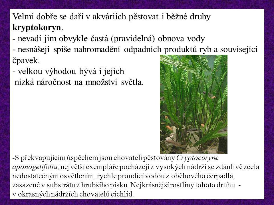 Které rostliny lze využít v akváriích chovatele ryb? Anubias barteri var. nana, jediný druh tohoto rodu, který i v přírodních lokalitách je schopen tr