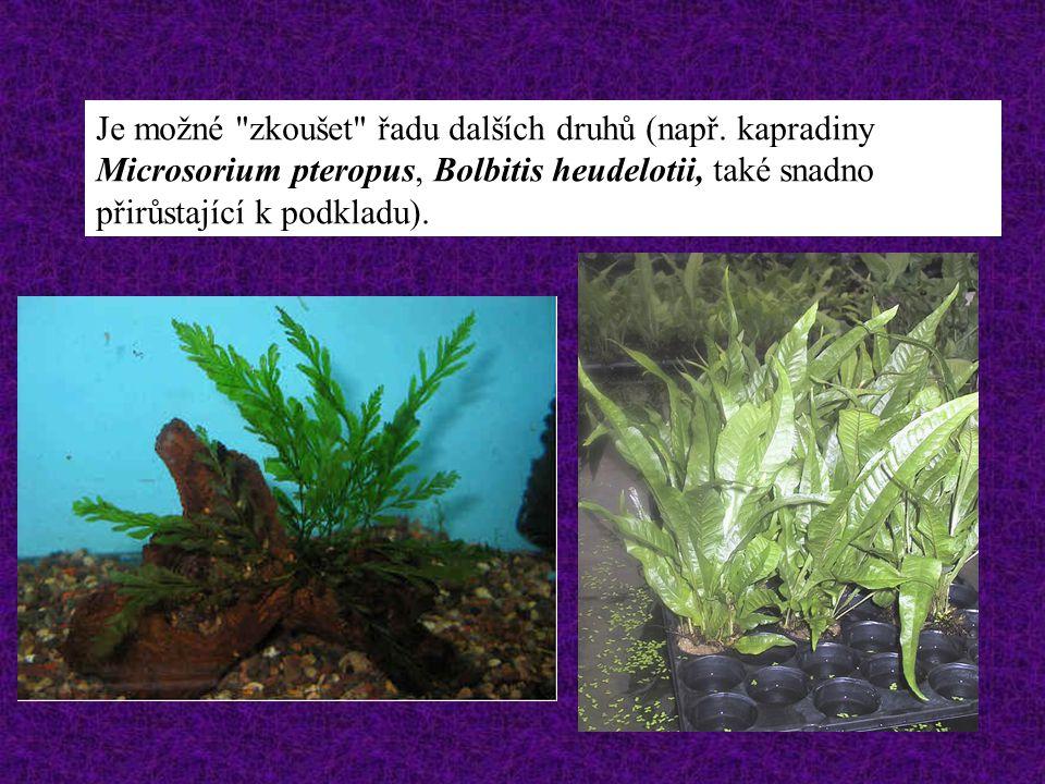 Velmi dobře se daří v akváriích pěstovat i běžné druhy kryptokoryn. - nevadí jim obvykle častá (pravidelná) obnova vody - nesnášejí spíše nahromadění