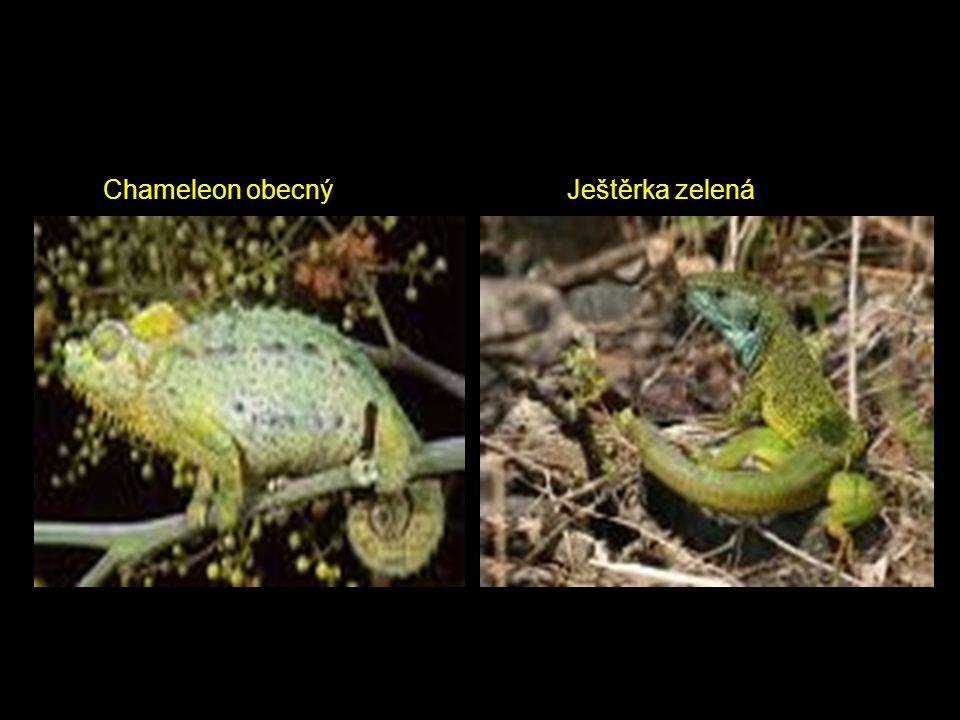 Chameleon obecný Ještěrka zelená