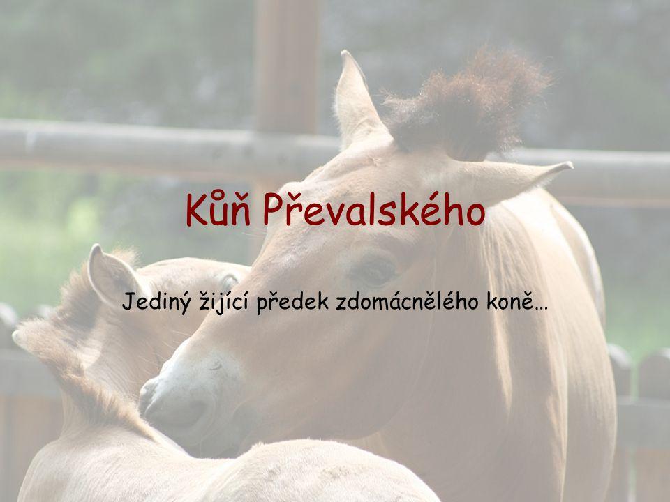 Kůň Převalského je jediným žijícím předkem našeho zdomácnělého koně.