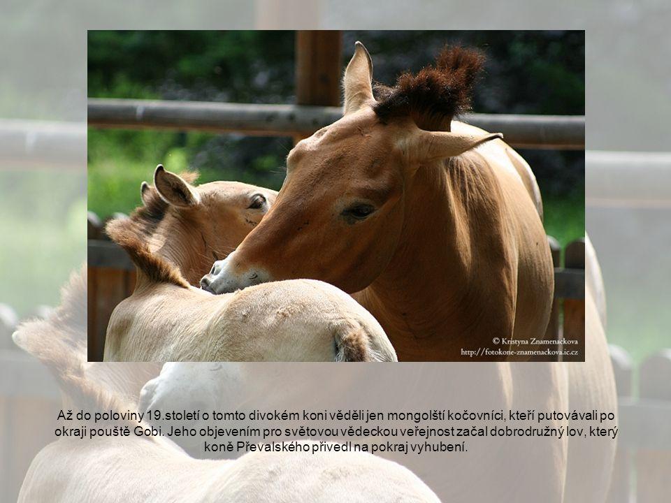 Až do poloviny 19.století o tomto divokém koni věděli jen mongolští kočovníci, kteří putovávali po okraji pouště Gobi.
