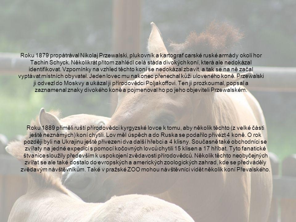 Od poloviny 20.století nebyl v Mongolsku spatřen ani jeden kůň Převalského.