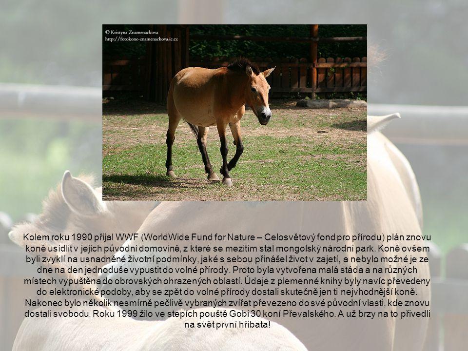 Kolem roku 1990 přijal WWF (WorldWide Fund for Nature – Celosvětový fond pro přírodu) plán znovu koně usídlit v jejich původní domovině, z které se mezitím stal mongolský národní park.