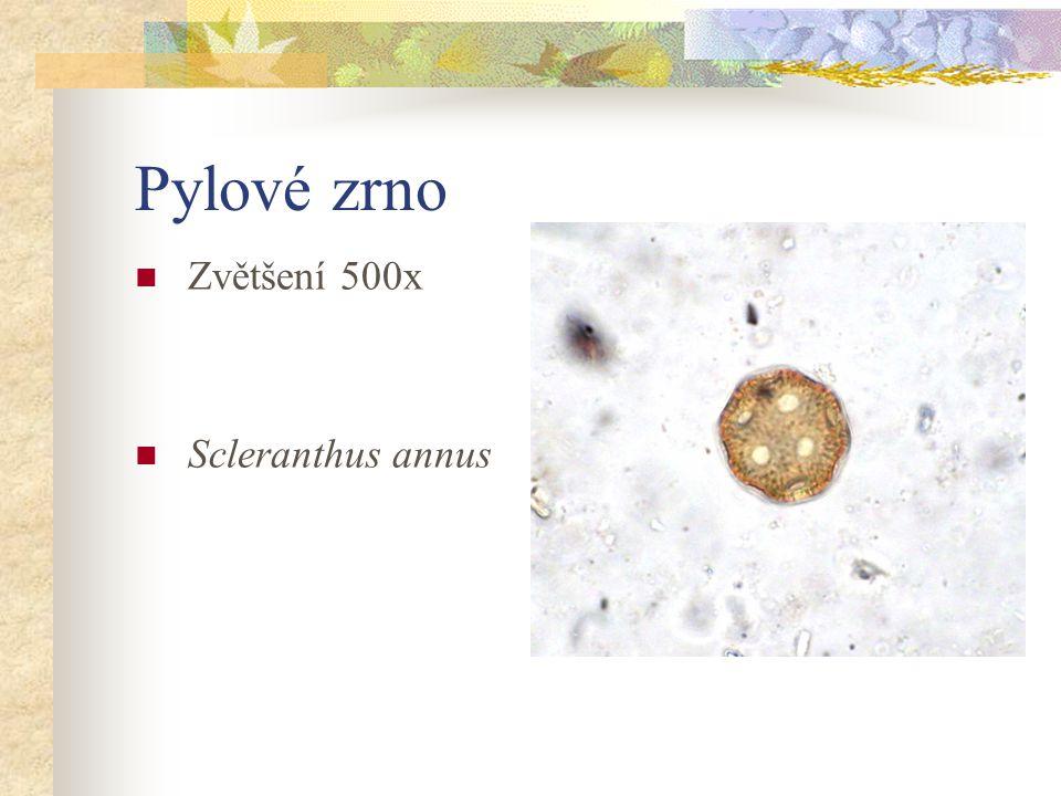 Pylové zrno Zvětšení 500x Scleranthus annus
