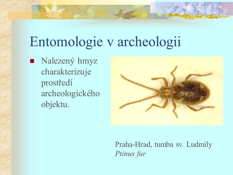Entomologie v archeologii Nalezený hmyz charakterizuje prostředí archeologického objektu. Praha-Hrad, tumba sv. Ludmily Ptinus fur