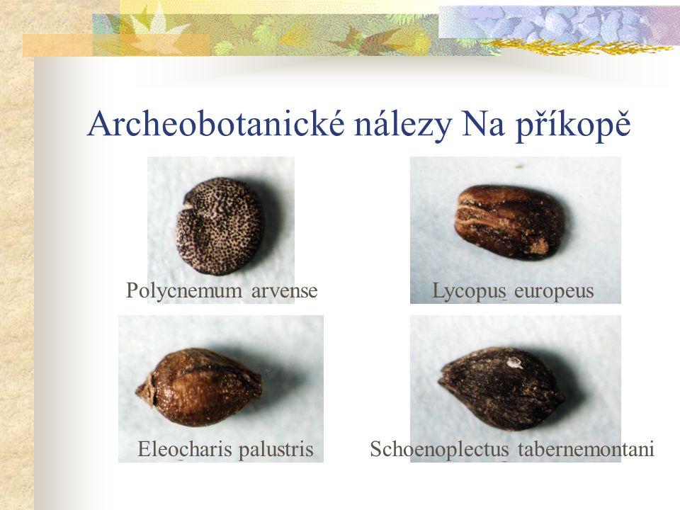 Archeobotanické nálezy Na příkopě Polycnemum arvenseLycopus europeus Eleocharis palustrisSchoenoplectus tabernemontani