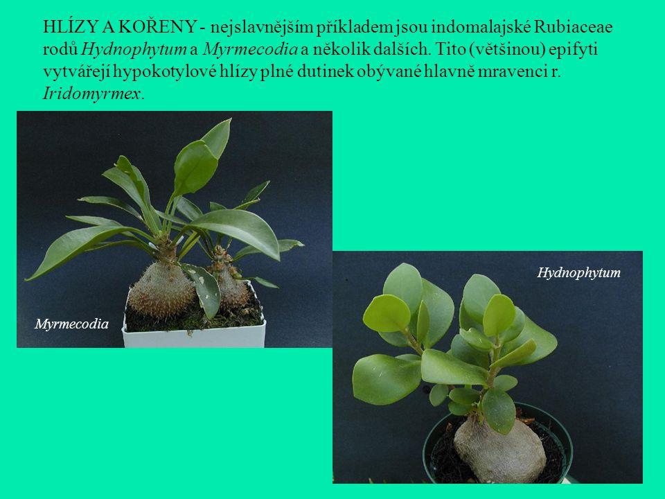 HLÍZY A KOŘENY - nejslavnějším příkladem jsou indomalajské Rubiaceae rodů Hydnophytum a Myrmecodia a několik dalších.