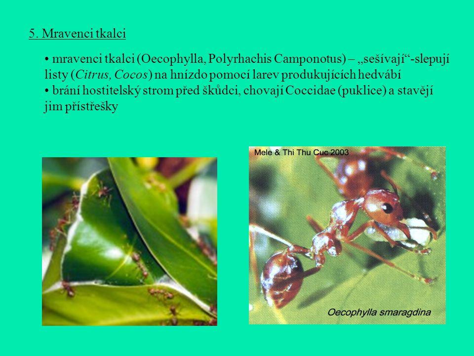 """5. Mravenci tkalci mravenci tkalci (Oecophylla, Polyrhachis Camponotus) – """"sešívají""""-slepují listy (Citrus, Cocos) na hnízdo pomocí larev produkujícíc"""