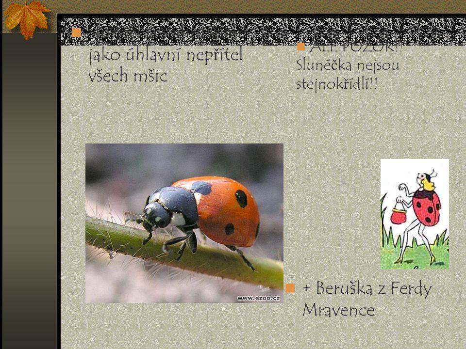 Slunéčko sedmitečné jako úhlavní nepřítel všech mšic + Beruška z Ferdy Mravence ALE POZOR!! Slunéčka nejsou stejnokřídlí!!
