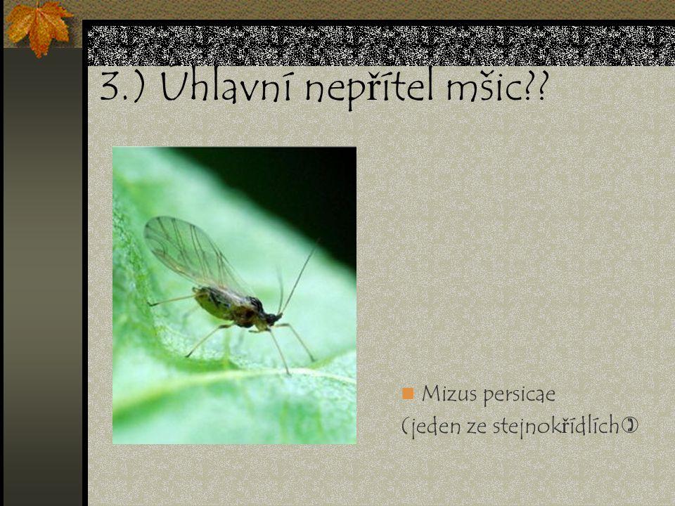 3.) Úhlavní nepřítel mšic?? Mizus persicae (jeden ze stejnokřídlích)