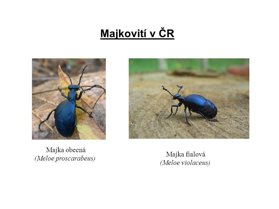 Majkovití v ČR Majka obecná (Meloe proscarabeus) Majka fialová (Meloe violaceus)