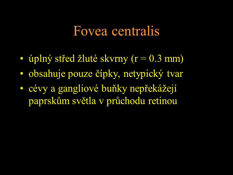 Fovea centralis úplný střed žluté skvrny (r = 0.3 mm) obsahuje pouze čípky, netypický tvar cévy a gangliové buňky nepřekážejí paprskům světla v průcho