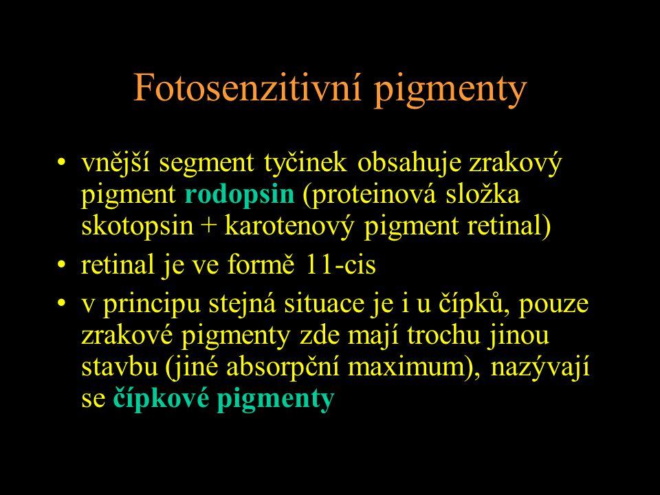 Fotosenzitivní pigmenty vnější segment tyčinek obsahuje zrakový pigment rodopsin (proteinová složka skotopsin + karotenový pigment retinal) retinal je ve formě 11-cis v principu stejná situace je i u čípků, pouze zrakové pigmenty zde mají trochu jinou stavbu (jiné absorpční maximum), nazývají se čípkové pigmenty