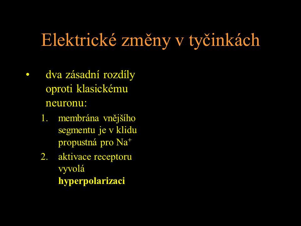 Elektrické změny v tyčinkách dva zásadní rozdíly oproti klasickému neuronu: 1.membrána vnějšího segmentu je v klidu propustná pro Na + 2.aktivace receptoru vyvolá hyperpolarizaci
