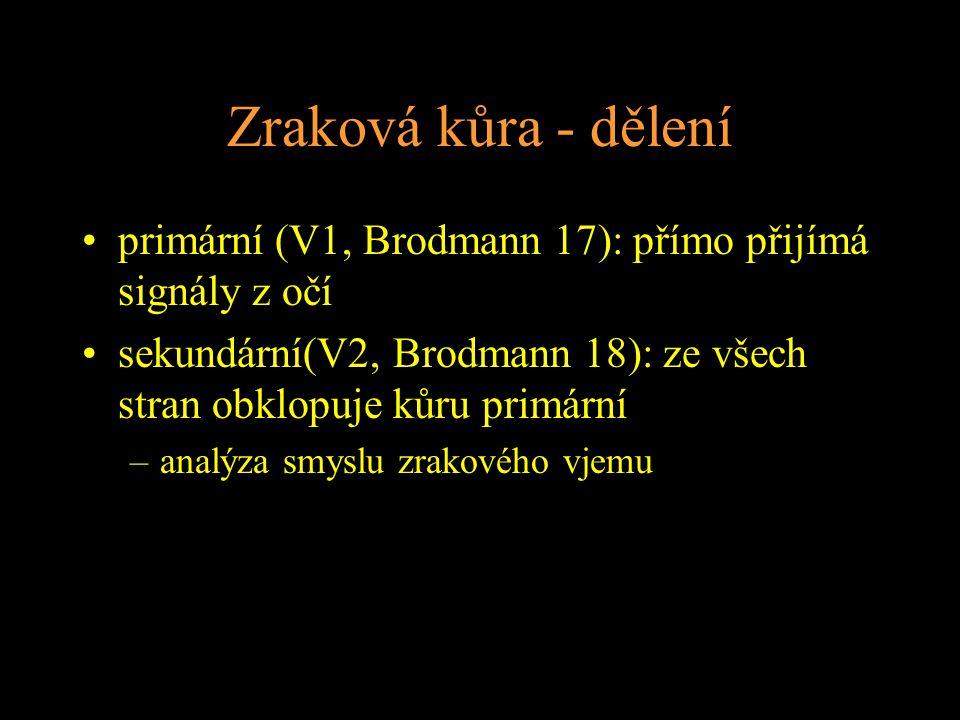 Zraková kůra - dělení primární (V1, Brodmann 17): přímo přijímá signály z očí sekundární(V2, Brodmann 18): ze všech stran obklopuje kůru primární –analýza smyslu zrakového vjemu