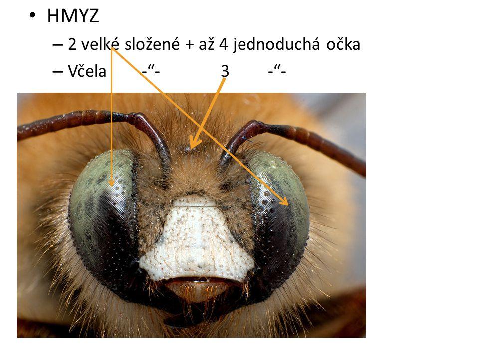 HMYZ – 2 velké složené + až 4 jednoduchá očka – Včela - - 3 - -