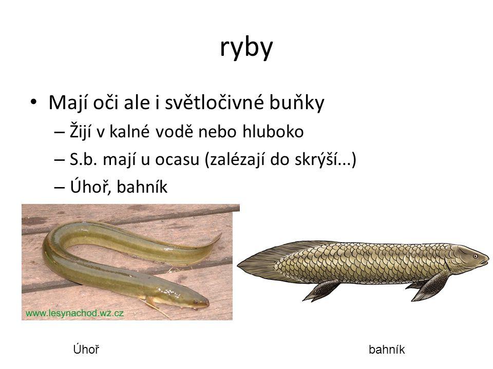 ryby Mají oči ale i světločivné buňky – Žijí v kalné vodě nebo hluboko – S.b. mají u ocasu (zalézají do skrýší...) – Úhoř, bahník Úhořbahník