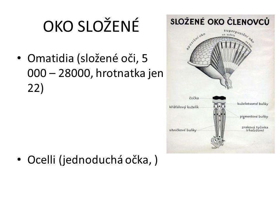 OKO SLOŽENÉ Omatidia (složené oči, 5 000 – 28000, hrotnatka jen 22) Ocelli (jednoduchá očka, )