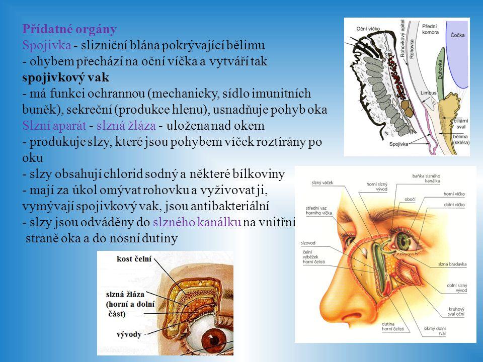 Okohybné svaly - z příčně pruhované svaloviny, pohybují okem - důležitá je koordinace svalů obou očí - při špatné souhře svalů nebo při poškození zrakové dráhy může dojít k šilhání Horní a dolní oční víčko - chrání oko, roztírají slzy - z okrajů rostou řasy chránící oko před tělesy